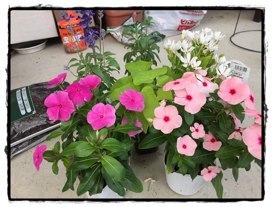 30cmのボウルに6苗 植え付けます。