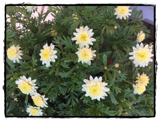 ボンザマーガレット 七分咲き